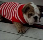 Bulldog Puppies Show Off their Creativity