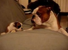 [Video] Bulldog Puppy proves She is A Daddy's Girl